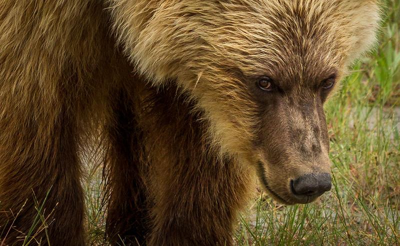 2015-07-17_Bears_Canon7D_5154.jpg
