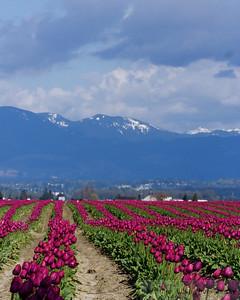 2009-04 TulipFestival