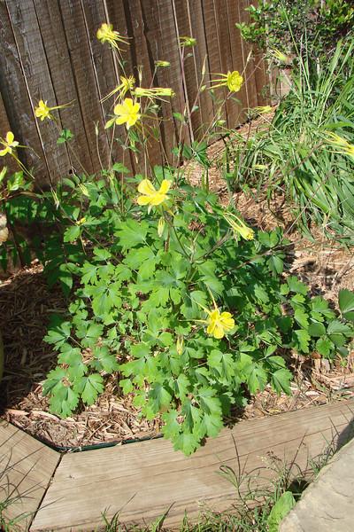Aquilegia chrysanthum hinckleyana / Texas Gold Columbine (perennial, Texas native) 4/6/07
