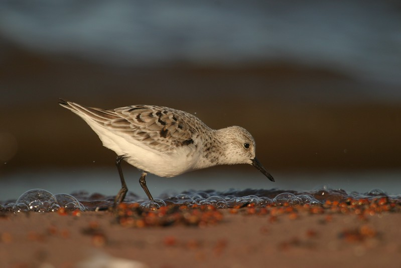 Sanderlings feed right along the surf line, often rushing toward the receding wave to get a few morsels before racing back up the beach to avoid the next wave [May; Lake Superior, Wisconsin Point, Superior, Wisconsin]