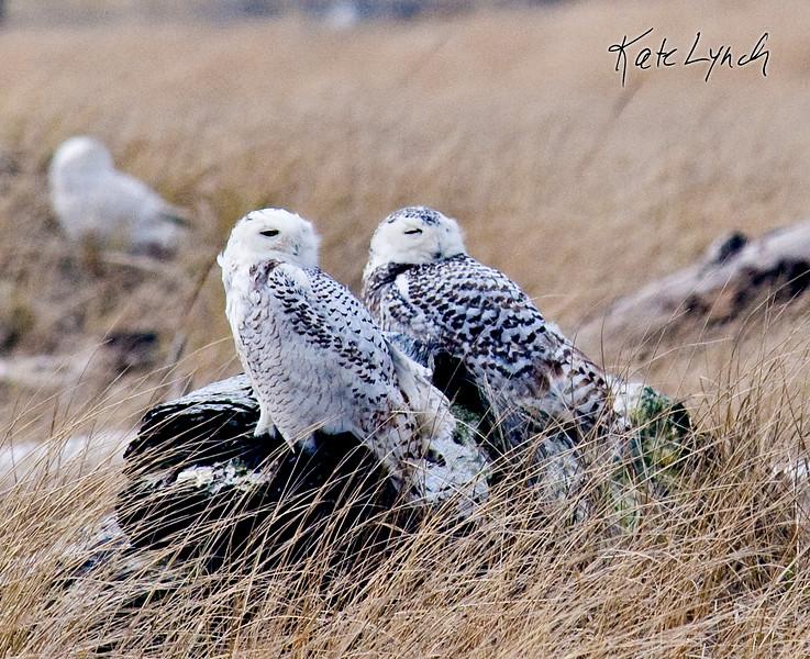 Owls-7453-8x10.jpg