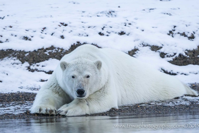 Polar Bear Holiday
