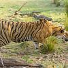 Stalking wild tiger