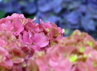 Hydrangeas - Ortensia