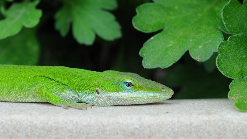 2008-03-23 Gecko on flower pot