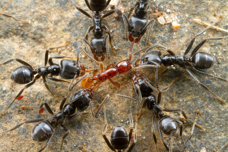 When a Neivamyrmex army ant column enters an Azteca territory, the Azteca attempt to dissuade the army ant advance by pinning down members of the front line.  Armenia, Belize