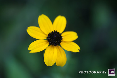 Brown/Black Eyed Susans