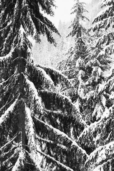 Firs & snow 3098 b&wN.jpg