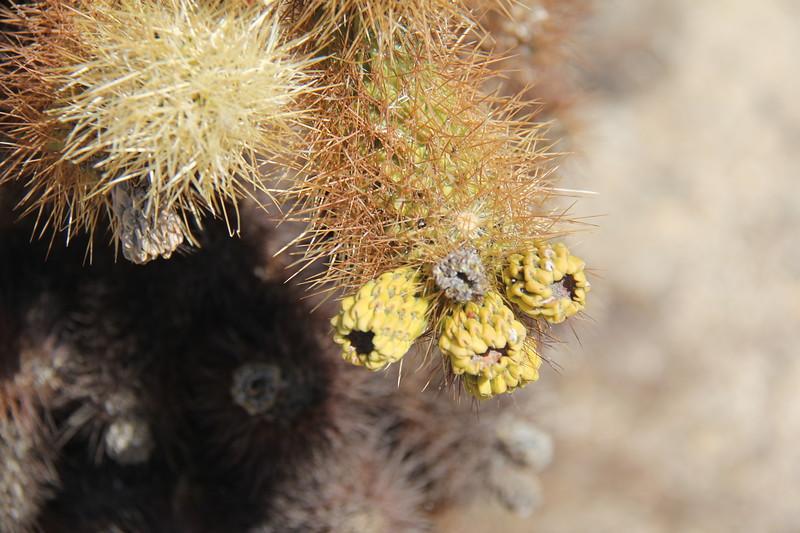 20190524-23-SoCalRCTour-Cholla Cactus Garden Trail-Joshua Tree NP.JPG