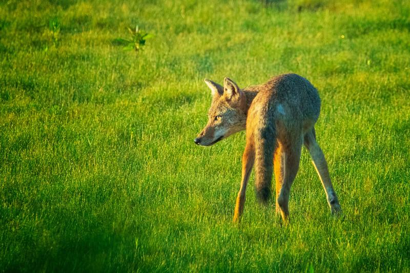 8.16.20 - Beaver Lake Fish Nursery- Coyote