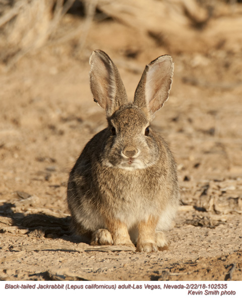 Black-tailed Jackrabbit A102535.jpg
