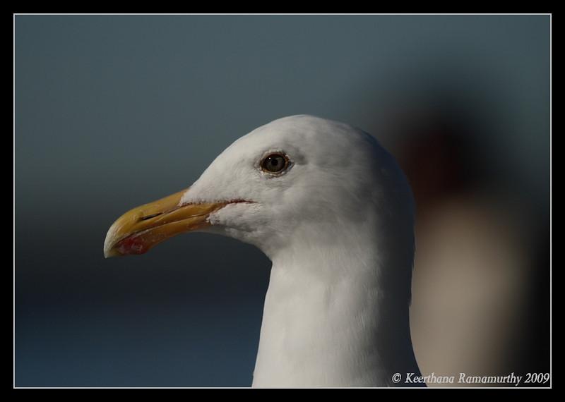 Western Gull, Oceanside Harbor, San Diego County, California, January 2009
