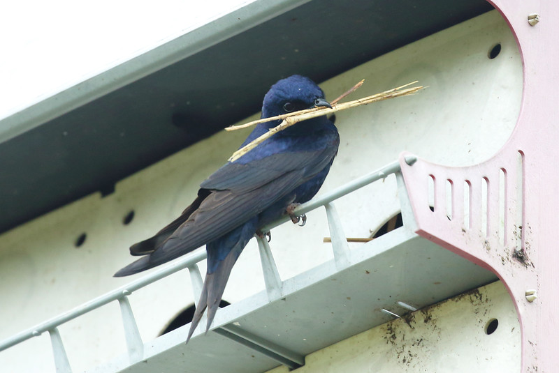 Purple Martin making its bed
