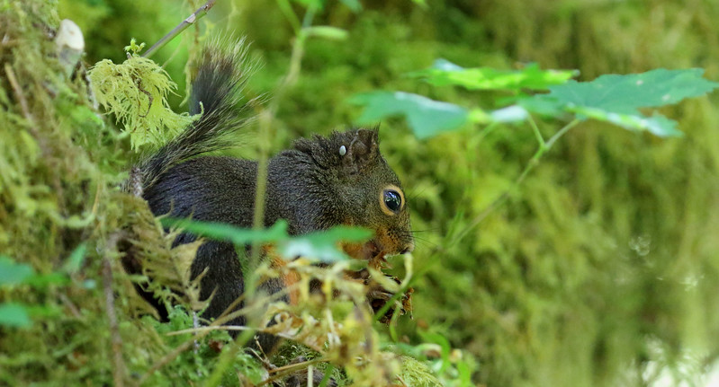Rainforest Squirrel.jpg