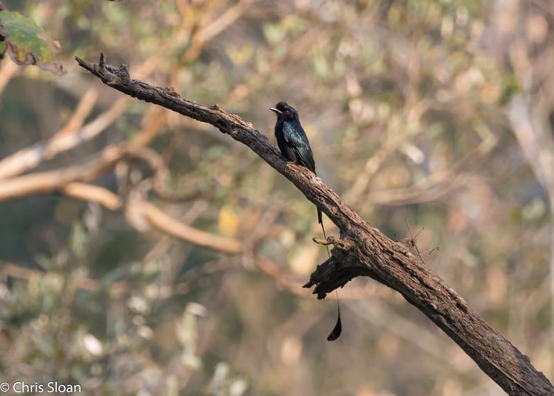 Greater Racket-tailed Drongo at Ambuli Illam Trail, Topslip, Tamil Nadu, India (02-27-2015) 061-401.jpg