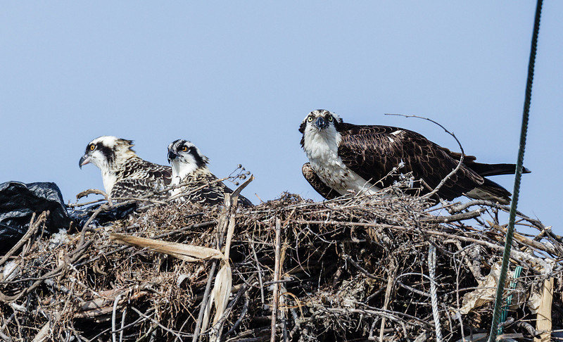 2012 OSPREY NESTS