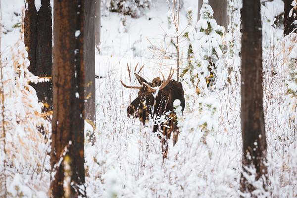 Wintering Shiras Moose