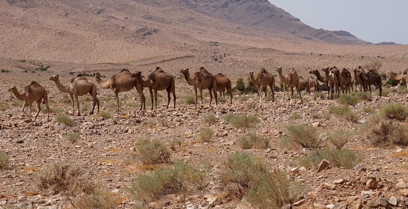 camel line 1.jpg