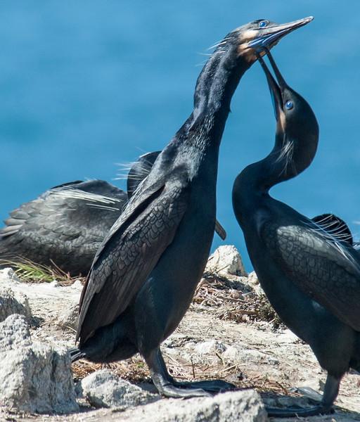 Cormorants_Point Lobos-2.jpg