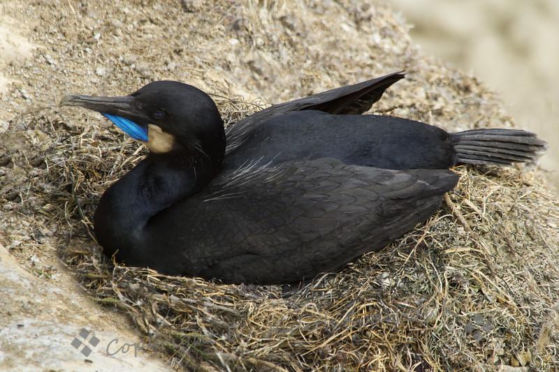 Nesting Brandt's Cormorant