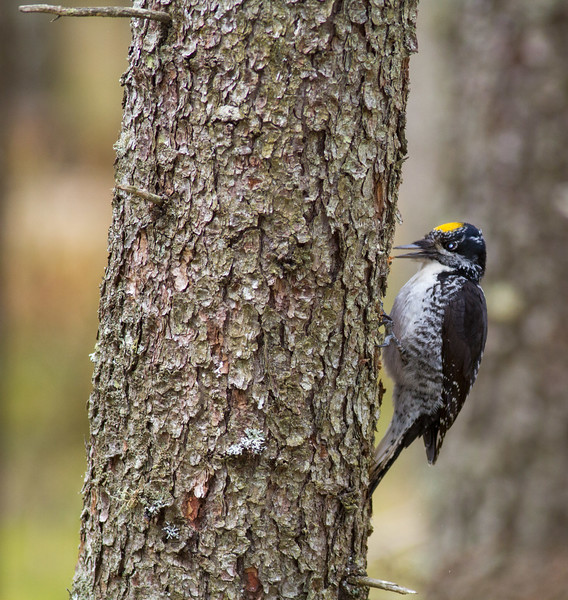 American Three-toed Woodpecker male Warren Nelson Memorial Bog Blue Spruce Road Sax-Zim Bog MN IMG_1361.jpg