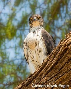 African Hawk-Eagle, Kenya