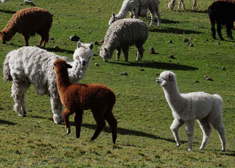 PEU_6754-7x5-young Lama.jpg