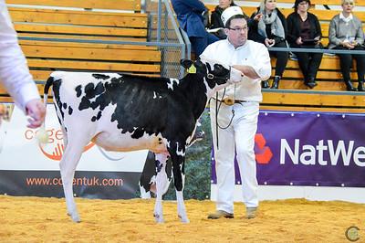 UK Dairy Expo Holstein Heifers 2018
