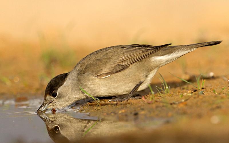 Blackcap -סבכי שחור Eurasian Blackcap (Sylvia atricapilla) - סבכי שחור כיפה