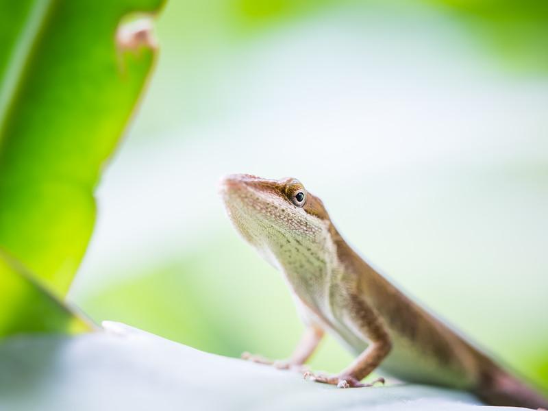 Lizard- Green Anole-6120480.jpg
