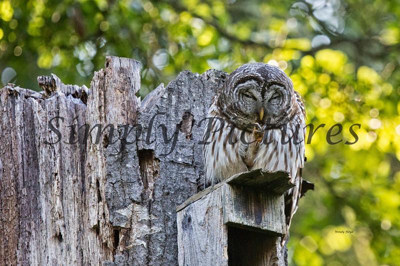 Owl  (22)