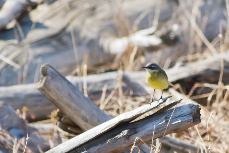 Eastern Yellow Wagtail - Record - Nome, AK, USA