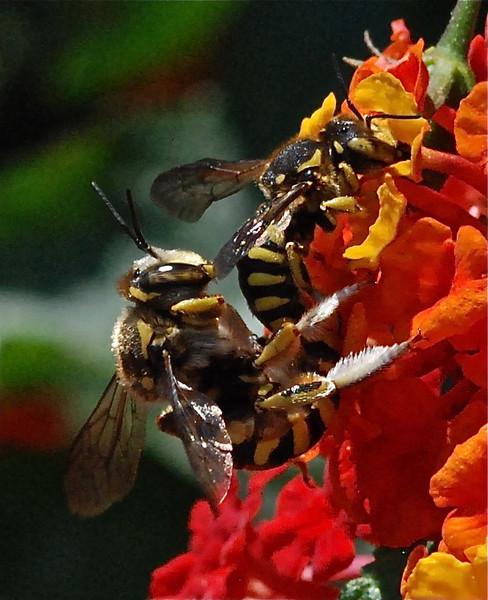 Carpenter Bees mating, Sardinia 2010 by A.K.