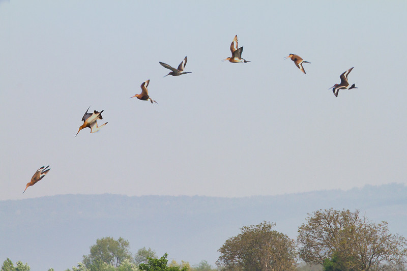 Flight of a Godwit (Uferschnepfe)