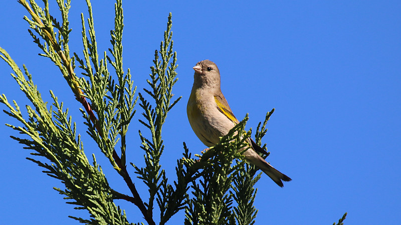 Lawrences Goldfinch female at Deercreek Campground DPC