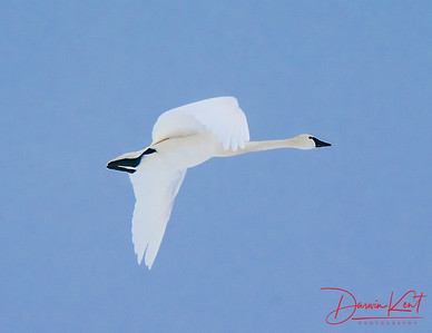 Tundra Swans at Long Point