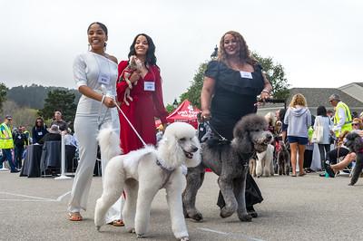 Parade - standard poodles #698 - #940