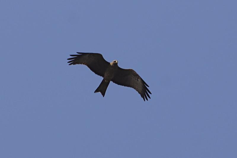 Yellow-billed Black Kite