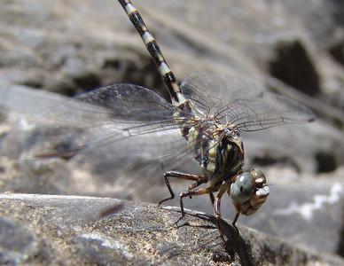 Paragomphus sinaiticus