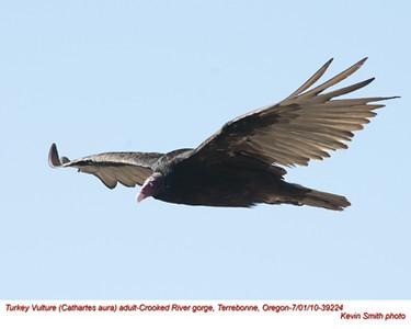 TurkeyVultureA39224.jpg
