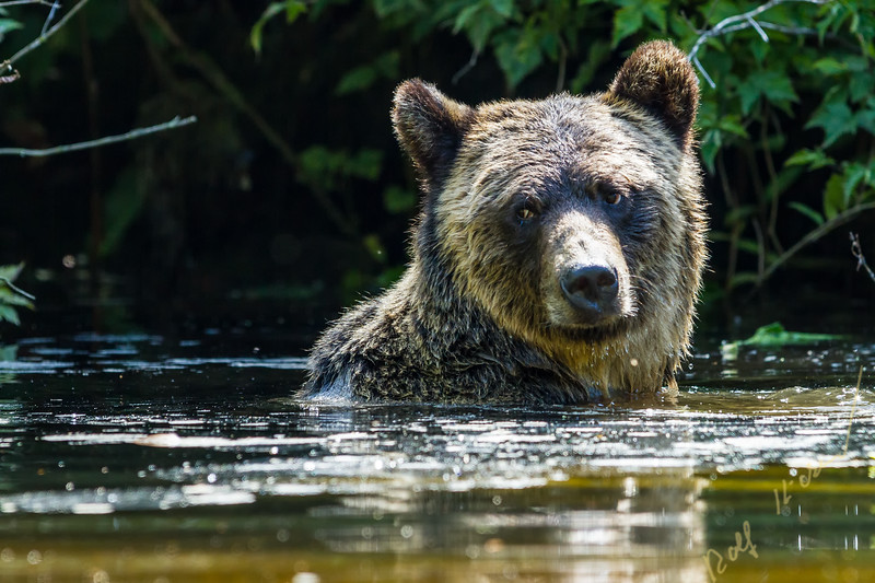 Cute looking Grizzly Bear