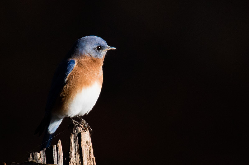 Eastern Bluebird Fall 2019-2.jpg