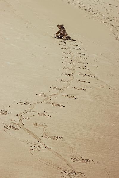 Iguana Footprints (Tortuga Bay, Santa Cruz)