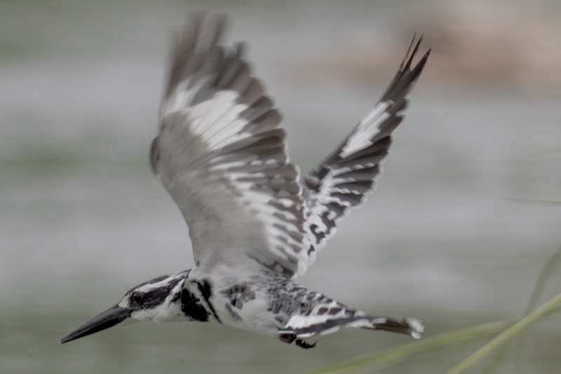 Flying Pied Kingfisher
