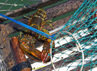 Lobster in the trap, freshly harvested