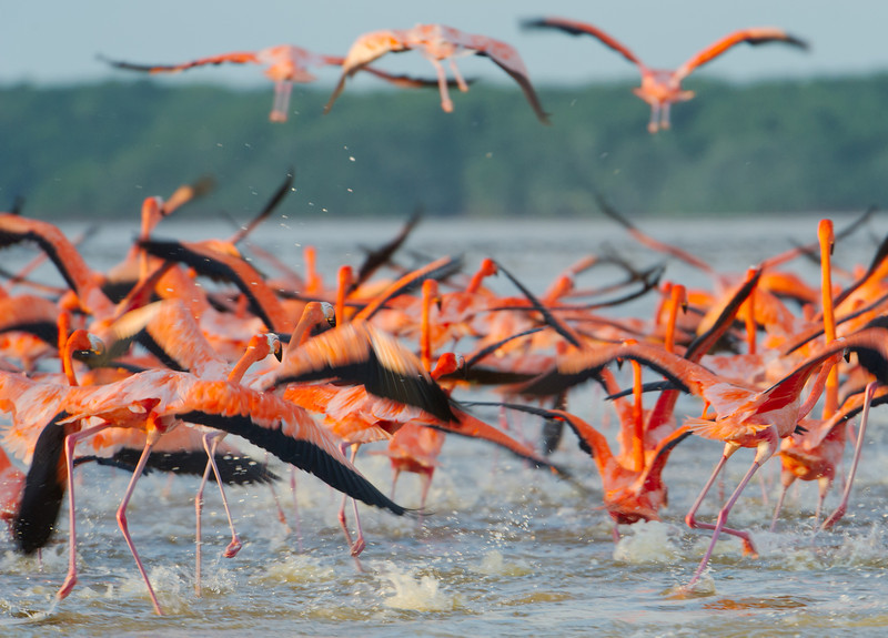 Greater flamingos in the Ria Celestun Biosphere Reserve, Yucatan state, Mexico
