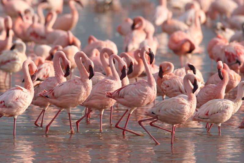 Lesser Flamingos dancing