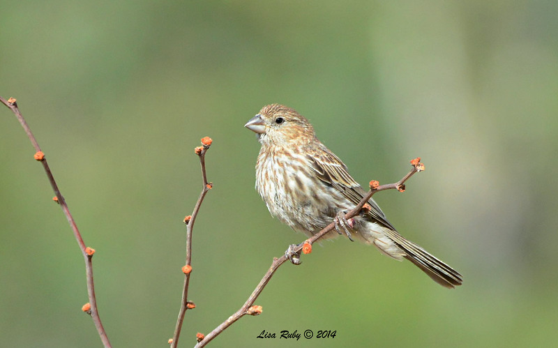 Female House Finch - 7/13/2014 - Nancy's House, Ramona
