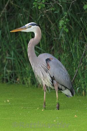 Wading Birds (Herons, Egrets, Bittern, Ibis, and Spoonbills)