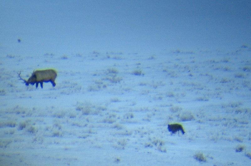druid pack wolf with bull elk
